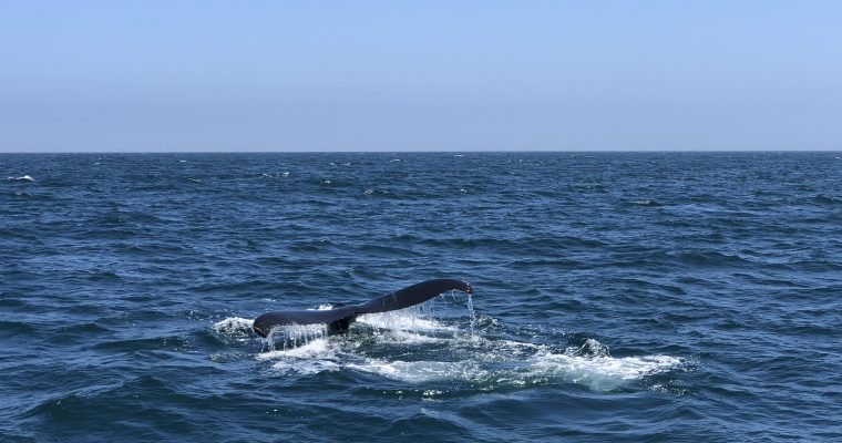 #12 The American Dream: Spectacular whale watching in Santa Cruz